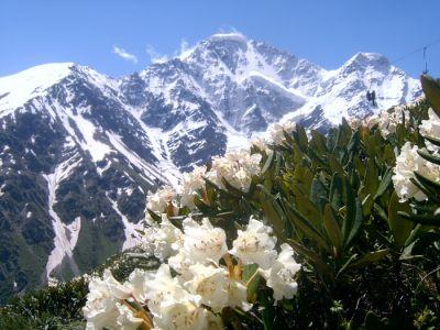 Эдельвейсы в горах